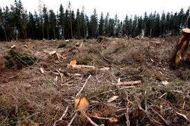 Perkame iškirsto miško žemę ir jaunuolynus.